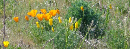 poppies and alyssum