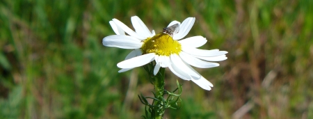 daisy with fly
