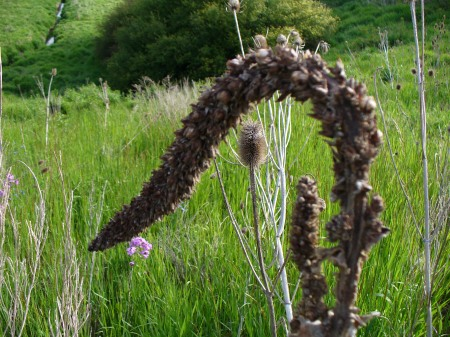 mullein and teasel