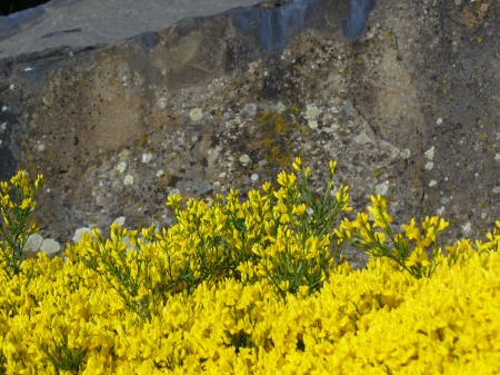 broom groundcover