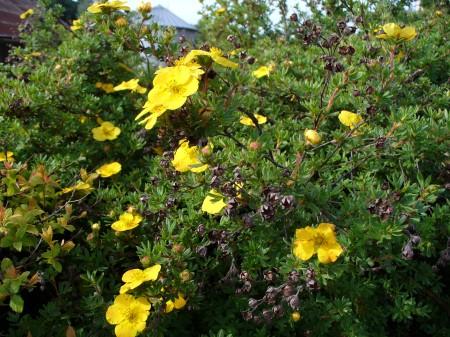 cinquefoil bush