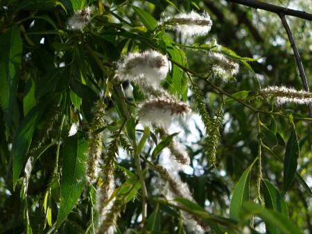 willow fuzz