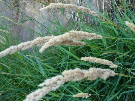grass-seed-heads