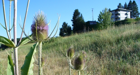 teasel-in-field