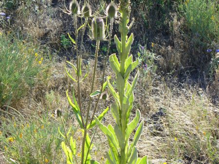 teasel-and-mullein