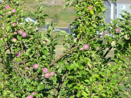 unripe-apples