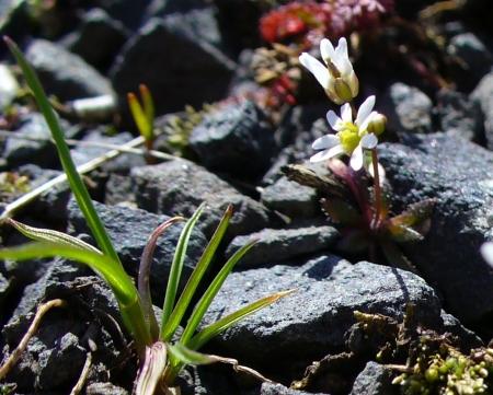 defiant little flower