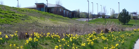daffodils in runoff management area