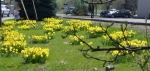 Pullman daffodils