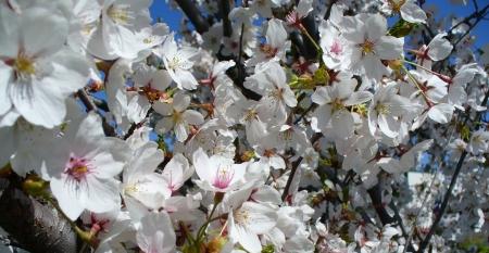 fruit tree flowers