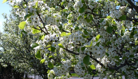 flowering fruit trees