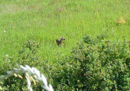 fawn leaps out into grass