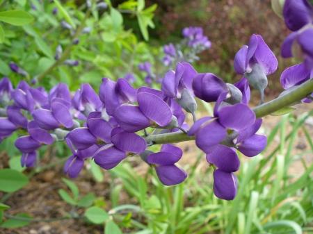 lupine flower closeup