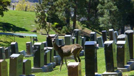 berkeley-20160925-092-deer-in-cemetary