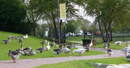 geese in park Omaha