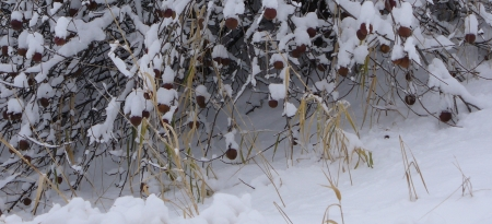 snow-covered fruit tree