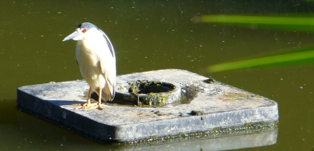 heron in pond by sutter's fort
