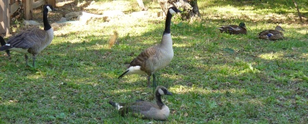 geese and ducks at Sutter' Fort