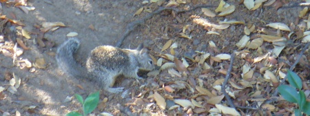 ground squirrel near its burrows