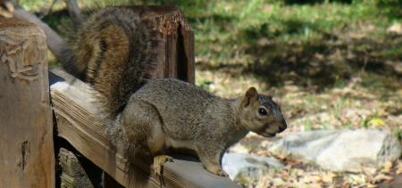 squirrel Sutter's fort