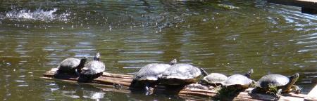 turtles sunning themselves