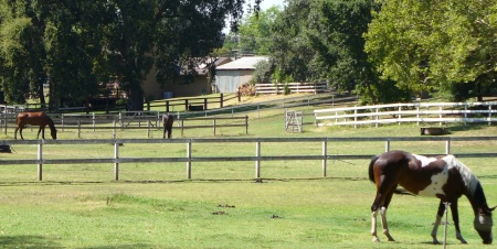 horses grazing in back yards