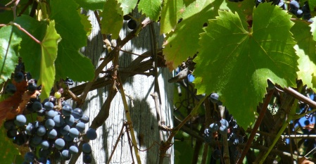 wild growing grapes
