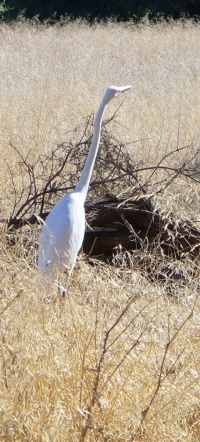 egret by the trail
