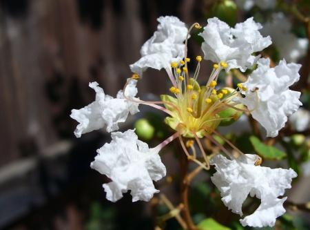 california lilac flower