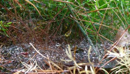 old web under pine tree