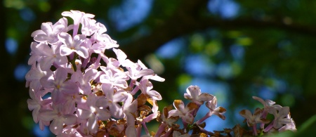 northern lilac flowers