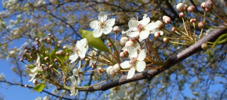 fruit tree blooming