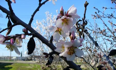 Bee on a fruit tree flower