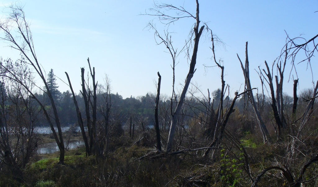 dead trees along american river