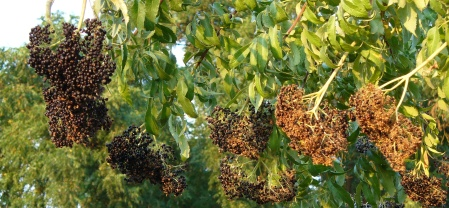 elderberry bushes in sacramento park