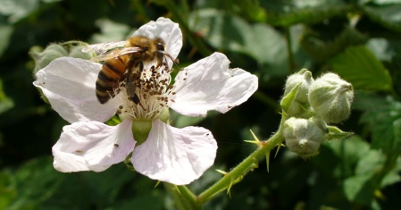 blackberry flower with bee