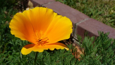 california-poppy-20180527-1