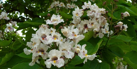 catalpa tree