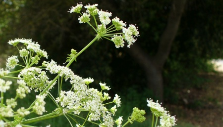 cow parsnip flowers