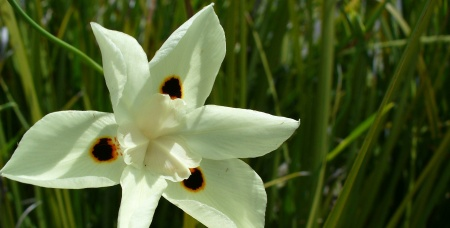Dietes - African iris