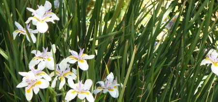 wild iris also known as flag