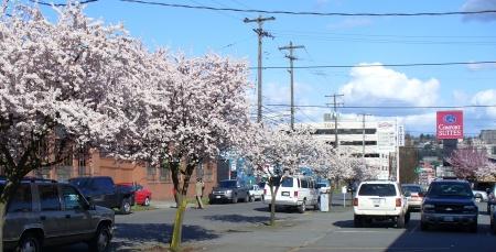 flowering plum trees Seattle