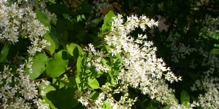 privet bush flowers