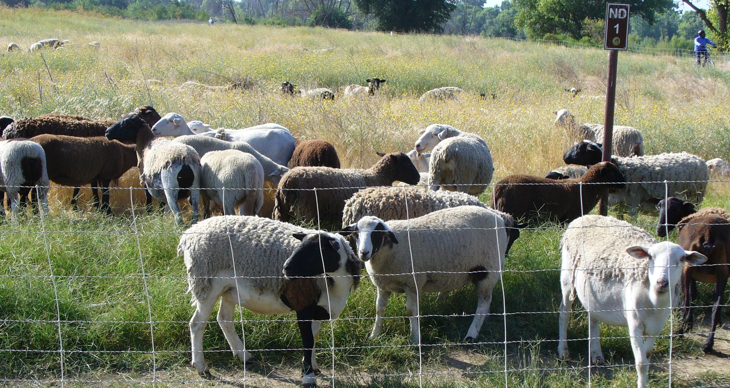 parkway-sheep-20180704-50.jpg