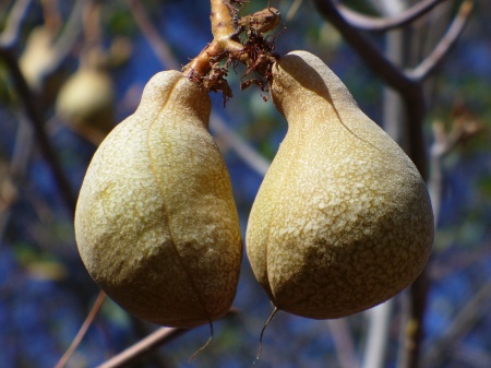 buckeye fruit
