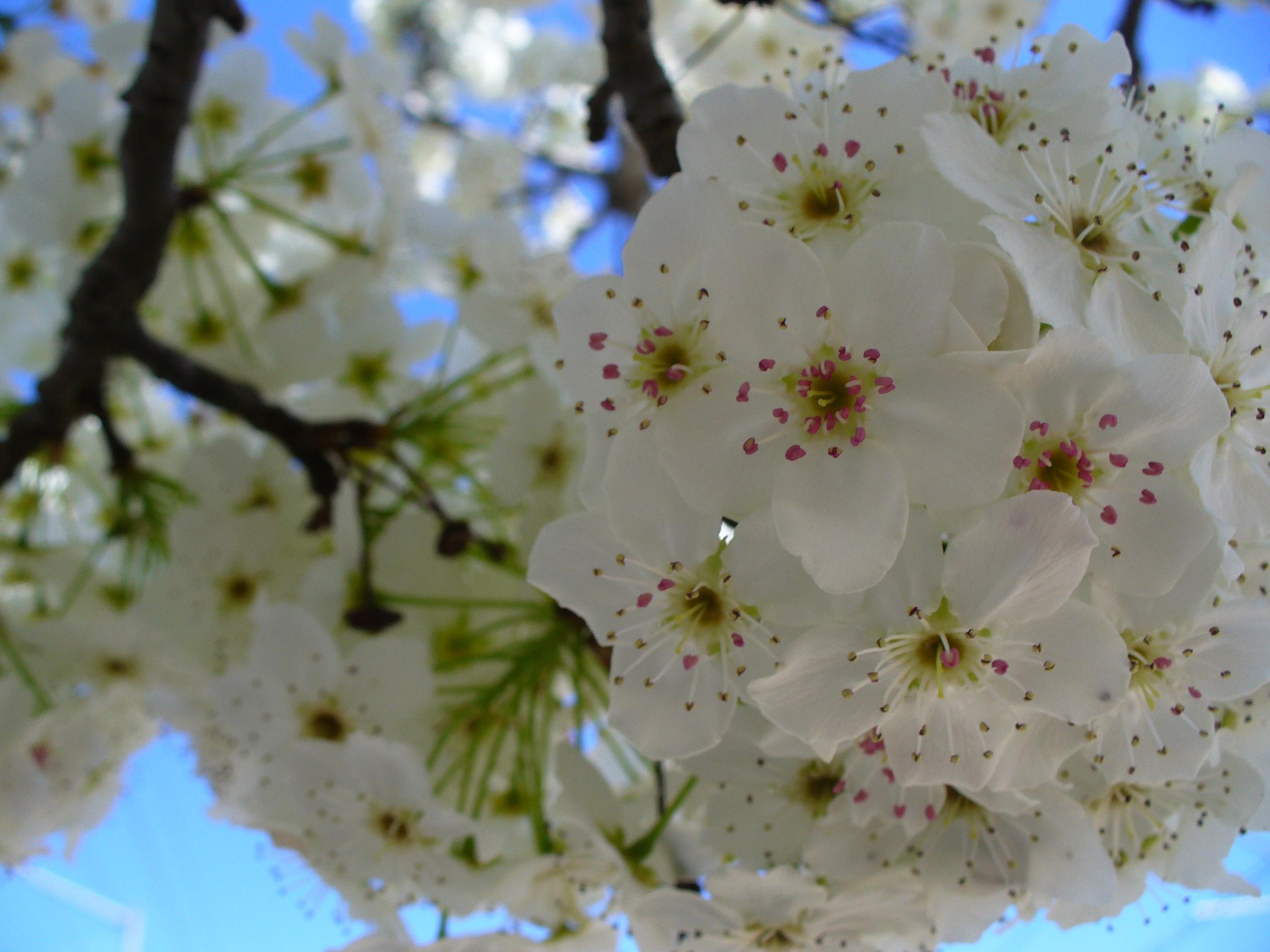 flowering-tree-flowers-rancho_cordova-20190331-75