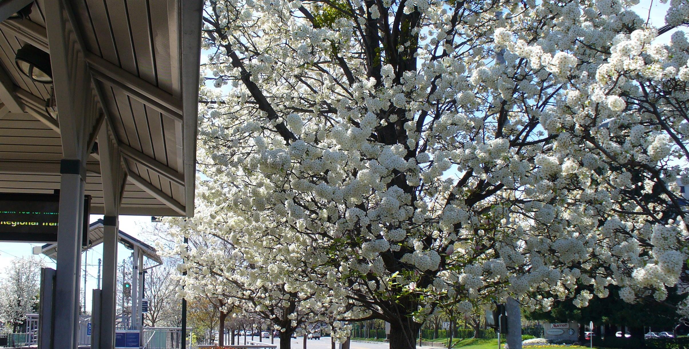 flowering-trees-rancho_cordova-20190331-03
