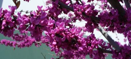 redbud-flowers-rancho_cordova-20190331-96