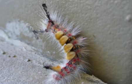 caterpillar-tussock_moth-folsom-20190504-2