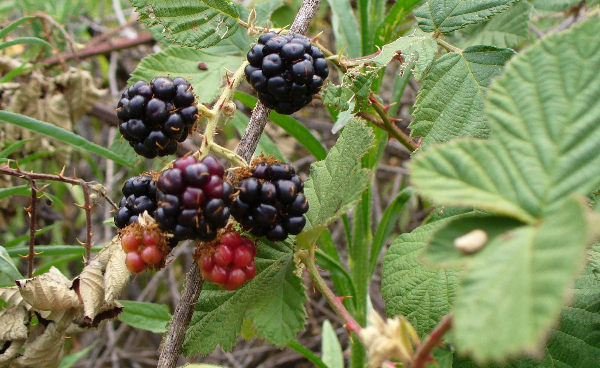 blackberries-sac_river-20190629-42